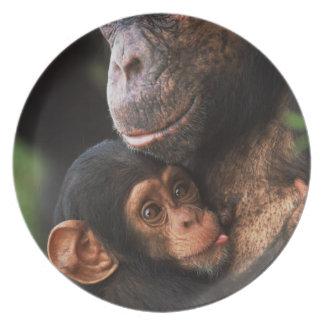 Madre del chimpancé que consolida al bebé platos de comidas