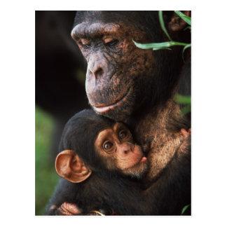 Madre del chimpancé que consolida al bebé tarjeta postal