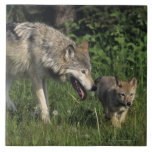 Madre del lobo con el perrito joven azulejo