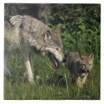 Madre del lobo con el perrito joven azulejo cuadrado grande