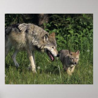 Madre del lobo con el perrito joven póster