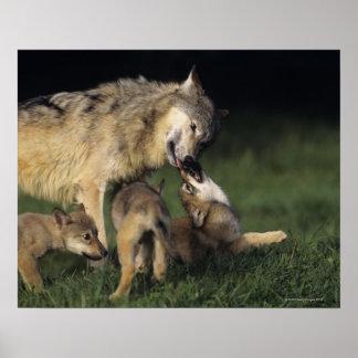 Madre del lobo con los perritos jovenes impresiones