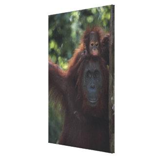 Madre del orangután con el bebé lienzo envuelto para galerías