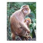 Madre y bebé del mono del Langur Tarjeta Postal