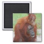 Madre y bebé del orangután en la isla de Borneo Imán Cuadrado