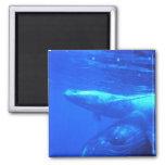 Madre y becerro de la ballena jorobada iman para frigorífico