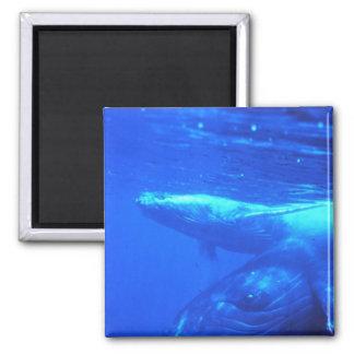 Madre y becerro de la ballena jorobada imán cuadrado