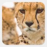 Madre y Cub del guepardo (Acinonyx Jubatus) Pegatina Cuadradas