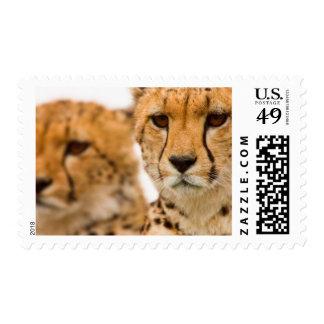 Madre y Cub del guepardo (Acinonyx Jubatus) Envio