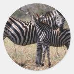 Madre y potro de la cebra etiquetas redondas