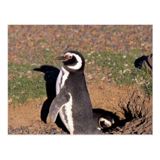 Magellanic Penguin, mated pair at burrow Postcard