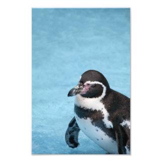 Magellanic Penguin Photo Print