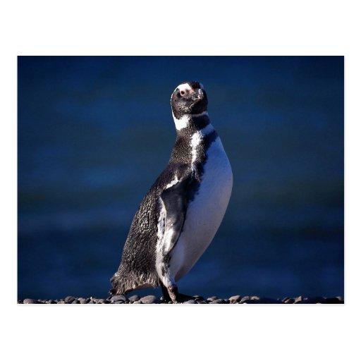 Magellanic Penguin Post Card