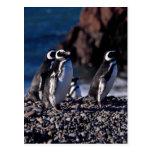 Magellanic Penguin Post Cards