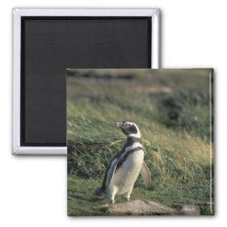 Magellanic Penguin (Spheniscus magellanicus), 2 Inch Square Magnet
