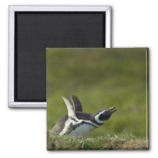 Magellanic Penguin, Spheniscus magellanicus, 2 Inch Square Magnet