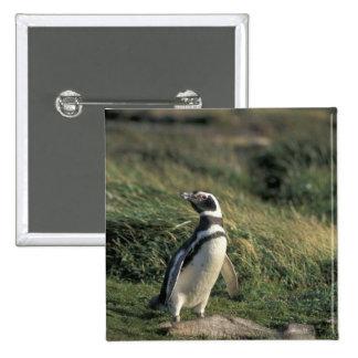 Magellanic Penguin (Spheniscus magellanicus), 2 Inch Square Button