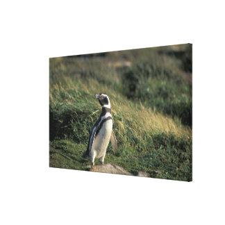 Magellanic Penguin (Spheniscus magellanicus), Gallery Wrapped Canvas