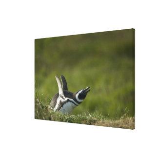 Magellanic Penguin, Spheniscus magellanicus, Canvas Print