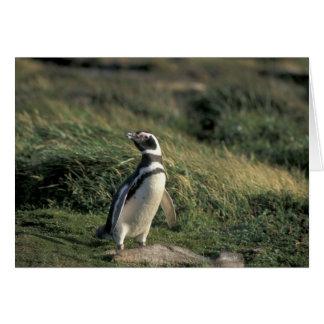 Magellanic Penguin (Spheniscus magellanicus), Card