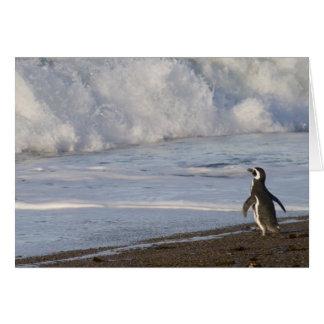 Magellanic Penguin, spheniscus magellanicus, Card