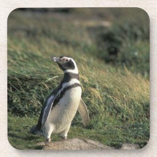 Magellanic Penguin (Spheniscus magellanicus), Drink Coaster