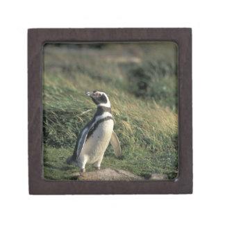 Magellanic Penguin (Spheniscus magellanicus), Gift Box