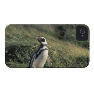 Magellanic Penguin (Spheniscus magellanicus), iPhone 4 Case