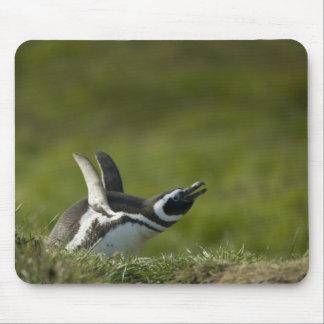 Magellanic Penguin, Spheniscus magellanicus, Mouse Pad