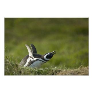 Magellanic Penguin, Spheniscus magellanicus, Photo Print