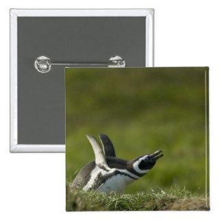 Magellanic Penguin, Spheniscus magellanicus, Pinback Button