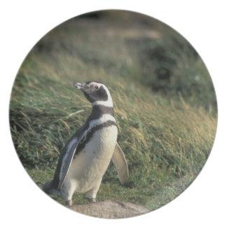 Magellanic Penguin (Spheniscus magellanicus), Plate