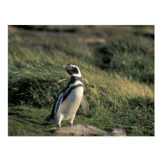 Magellanic Penguin (Spheniscus magellanicus), Postcard