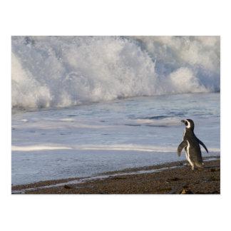 Magellanic Penguin, spheniscus magellanicus, Post Card