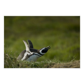Magellanic Penguin, Spheniscus magellanicus, Poster