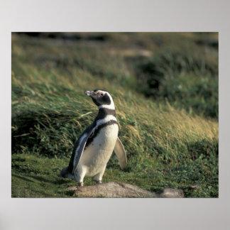 Magellanic Penguin (Spheniscus magellanicus), Poster