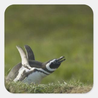 Magellanic Penguin, Spheniscus magellanicus, Square Sticker