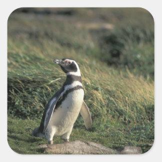 Magellanic Penguin (Spheniscus magellanicus), Square Sticker