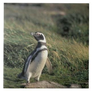 Magellanic Penguin (Spheniscus magellanicus), Tiles