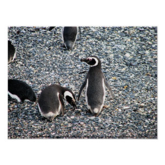 Magellanic Penguins, Beagle Channel, Patagonia Poster