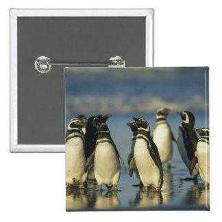 Magellanic Penguins, Spheniscus 2 Inch Square Button