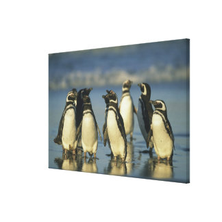 Magellanic Penguins, Spheniscus Gallery Wrapped Canvas