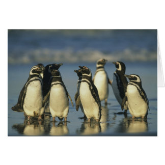 Magellanic Penguins, Spheniscus Greeting Cards