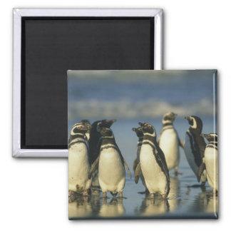 Magellanic Penguins, Spheniscus Magnet