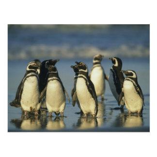 Magellanic Penguins, Spheniscus Postcard