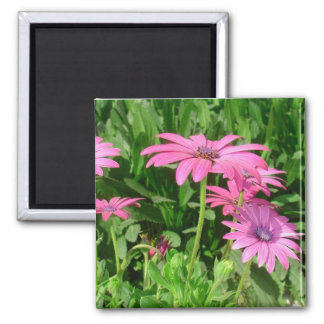 Magenta African Daisies Magnets