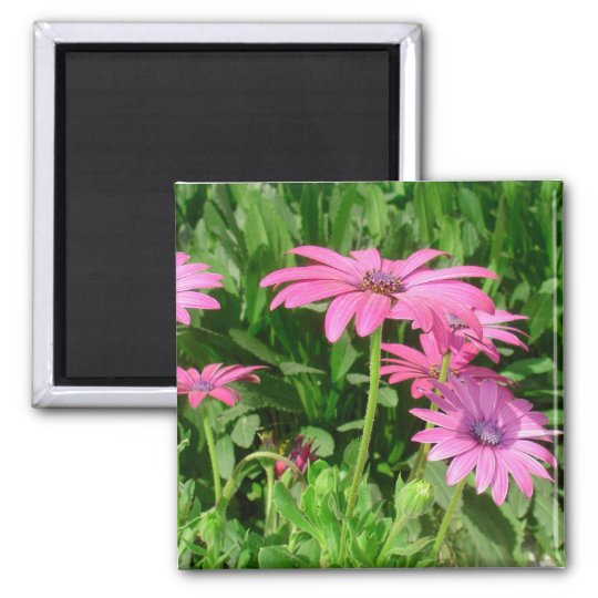 Magenta African Daisies Magnet