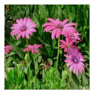 Magenta African Daisies Poster