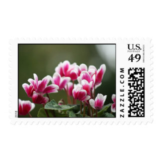 magenta and white cyclamen stamp