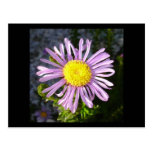 Magenta Aster - A Star of Love and Fidelity Postcard